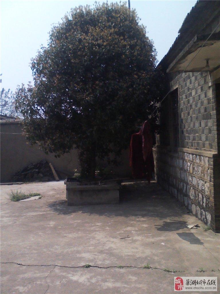 20年桂花树出售