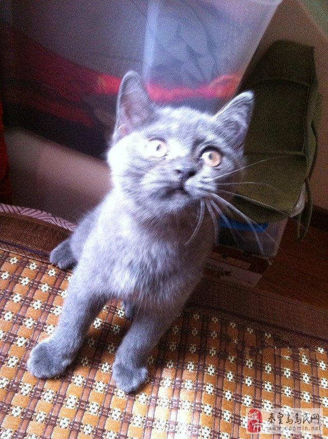 三个月大可爱小蓝猫出售