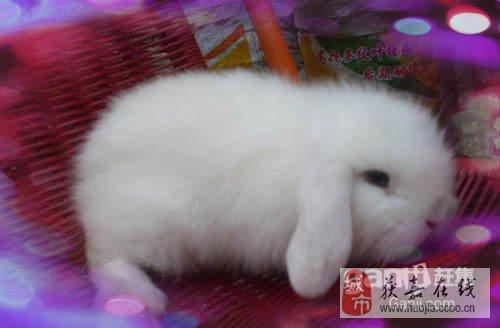 超可爱垂耳兔,q版迷你兔暑假最低价出售