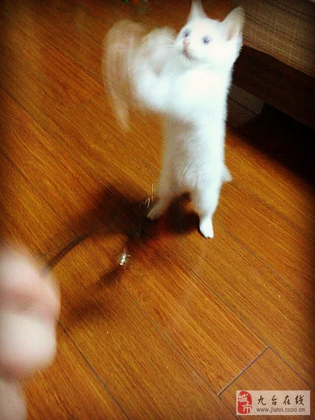 可爱小白猫出售_九台在线
