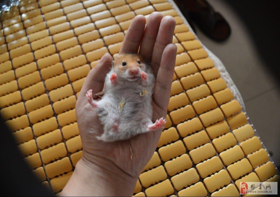 金丝熊仓鼠怀孕的样子 金丝熊仓鼠怀孕的图片 金丝熊仓鼠