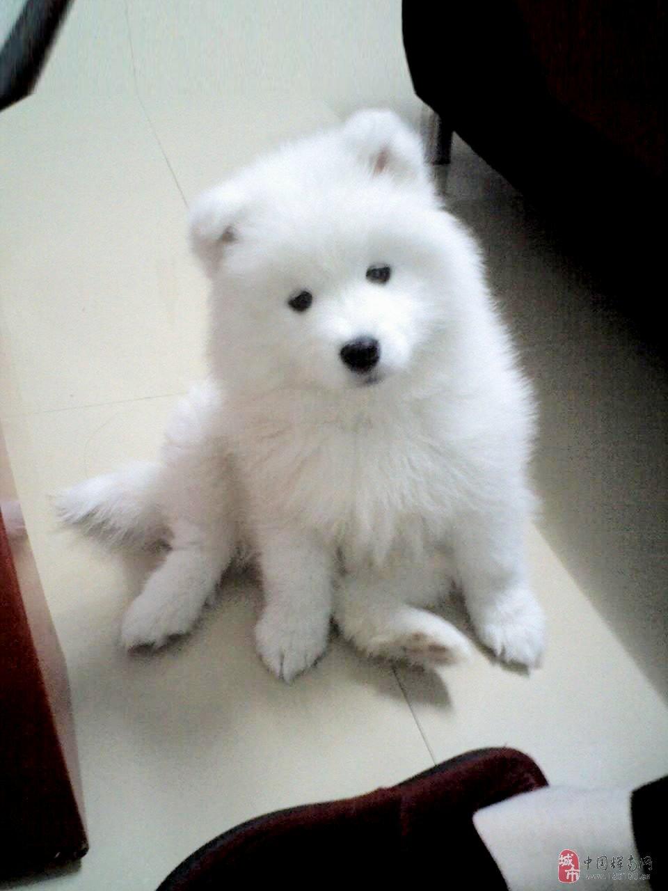 狗图片_萨摩狗图片-谁有萨摩狗资料或图片??