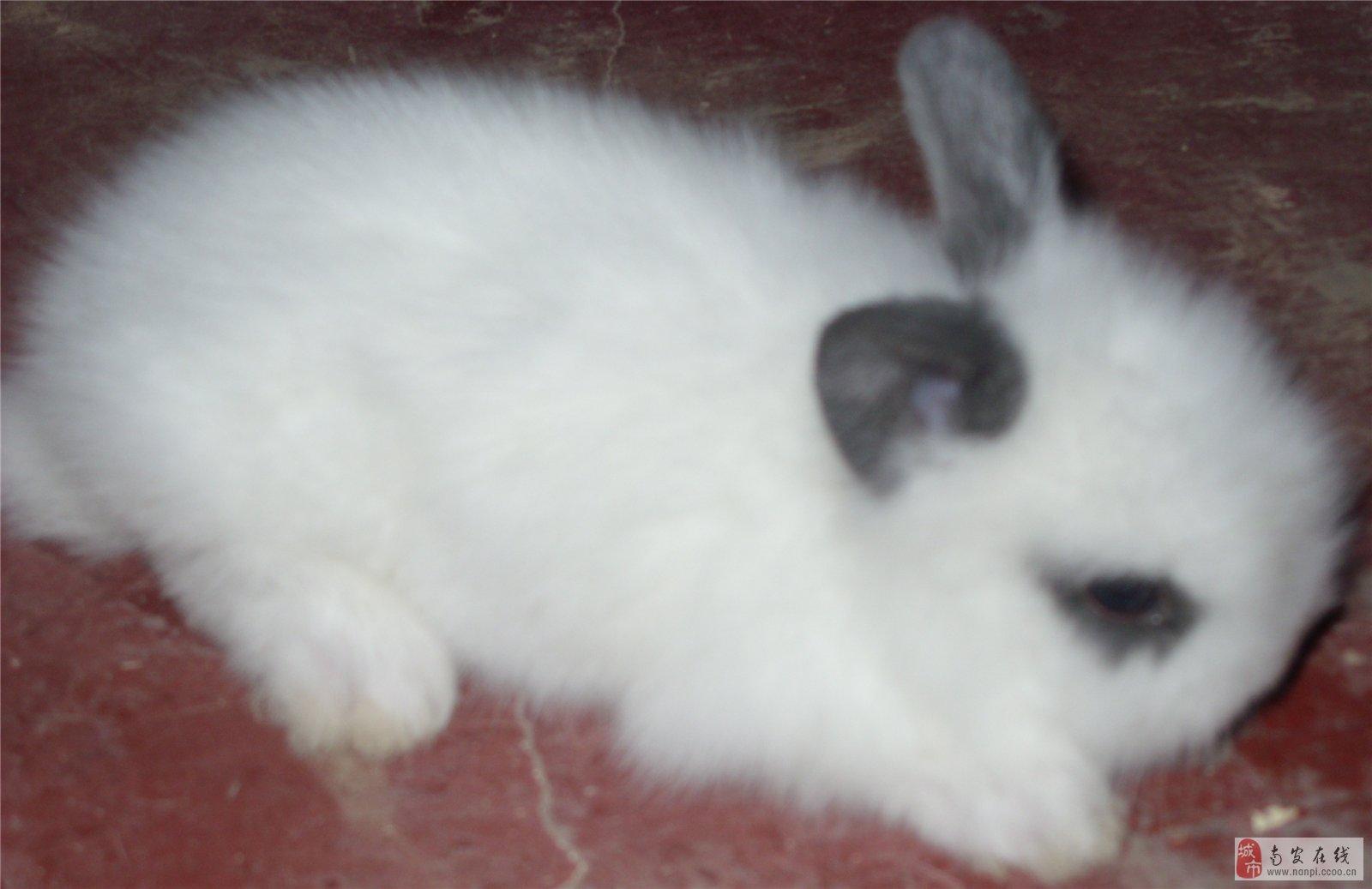 出售可爱宠物兔_南皮在线