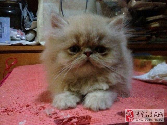健康活泼可爱的三只小加菲猫出售