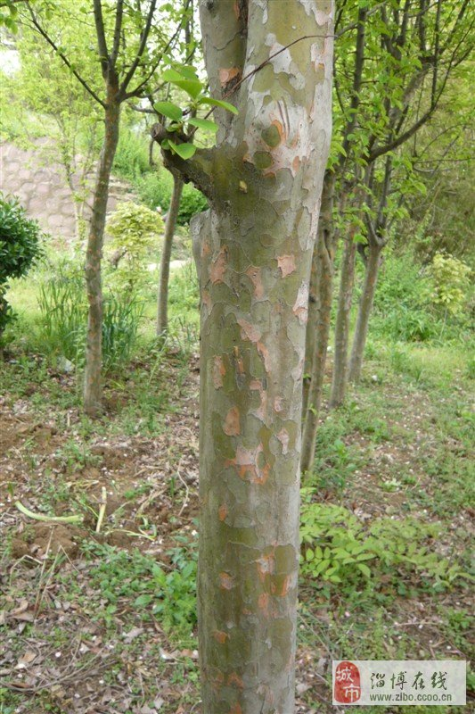 红绿梅,紫荆,红白玉兰,流苏,银杏,水杉,法桐,苦楝,白腊,合欢,楸树