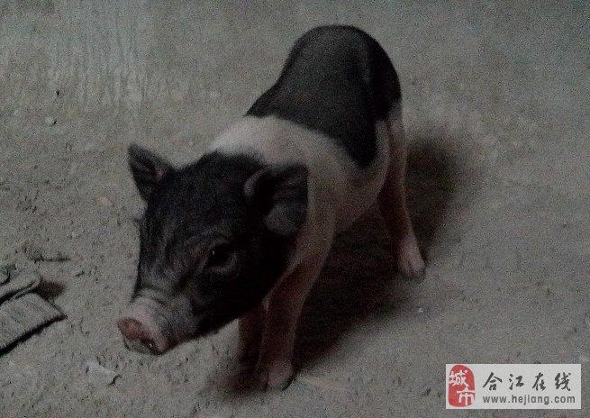 聪明可爱的宠物猪,买一送一哦