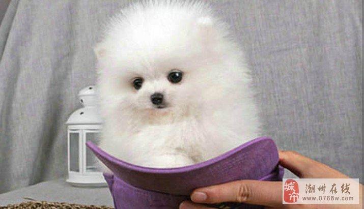 哈多利球体博美长不大的博美狗狗活泼可爱聪明博美犬