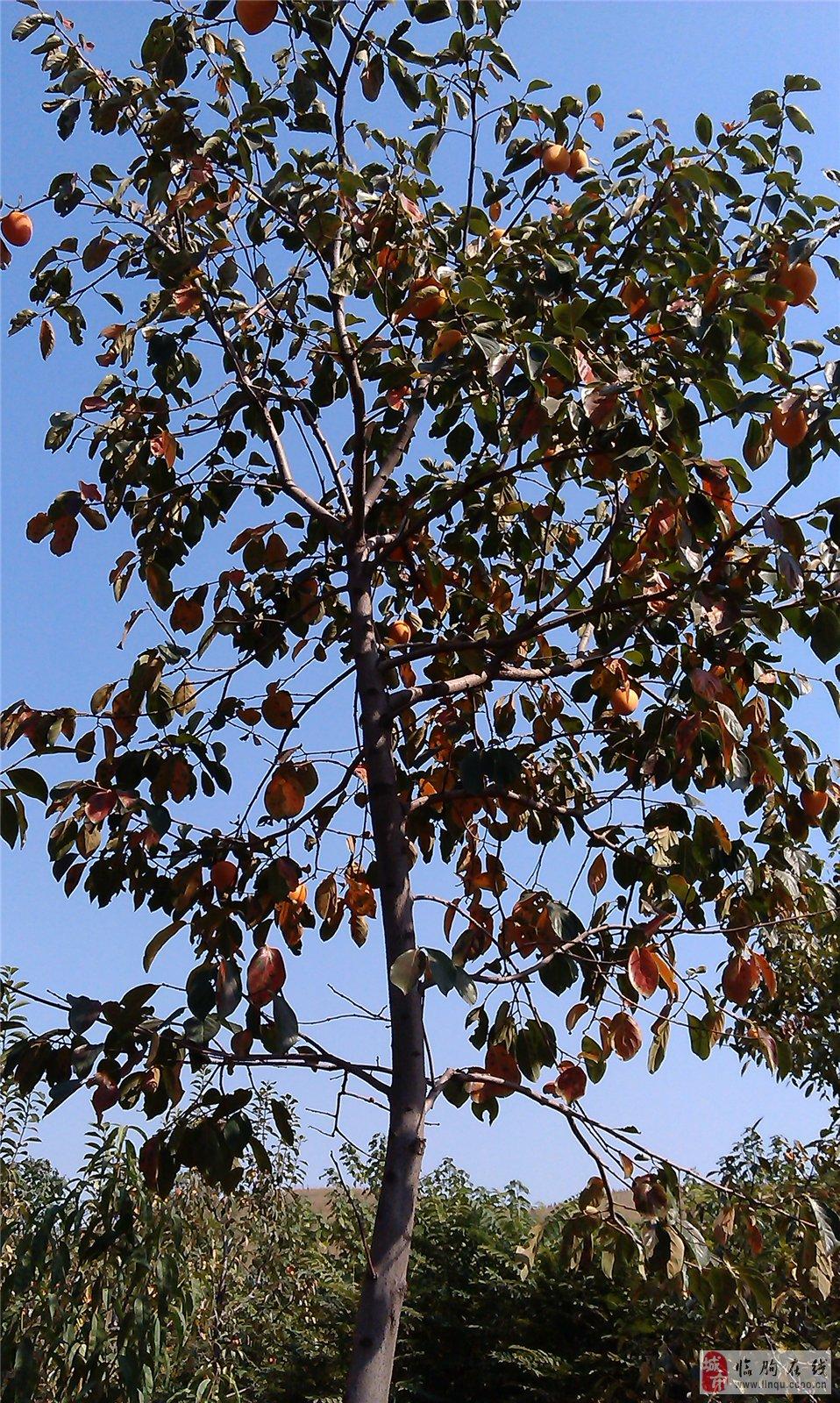 爬藤类圆枣子树图片