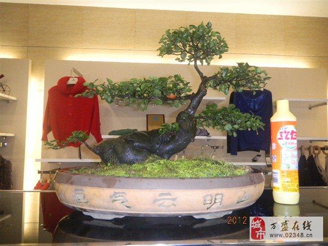 黑塔子树桩盆景出售