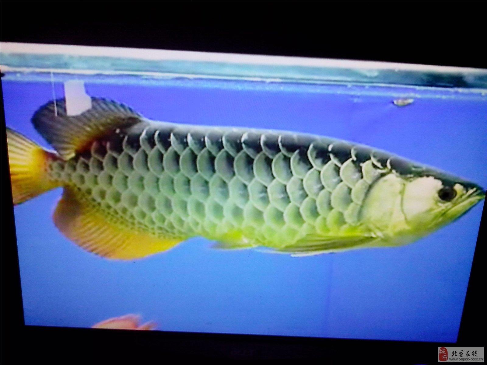 蓝底高背金龙鱼