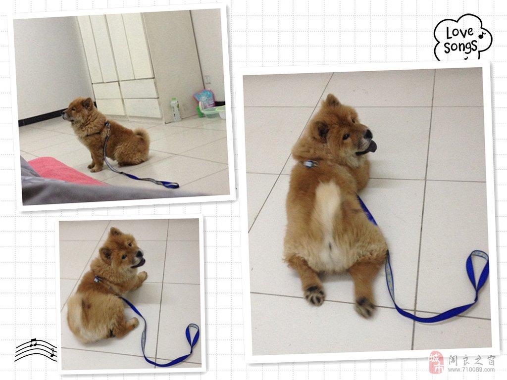可爱松狮犬出售
