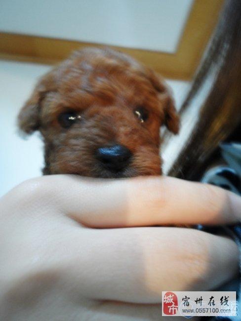 出售40天幼犬红色泰迪 里面有狗妈的照片