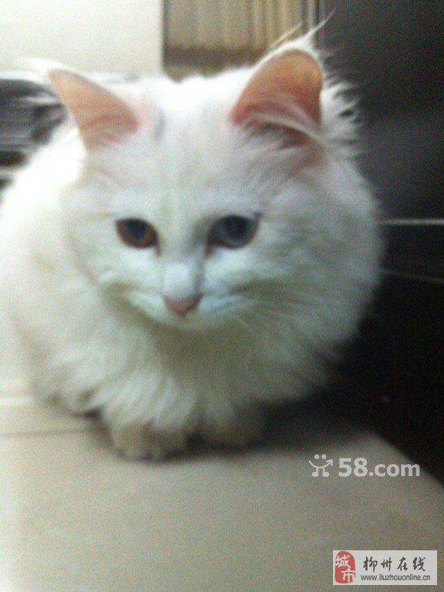 长毛白色波斯猫图片图片2