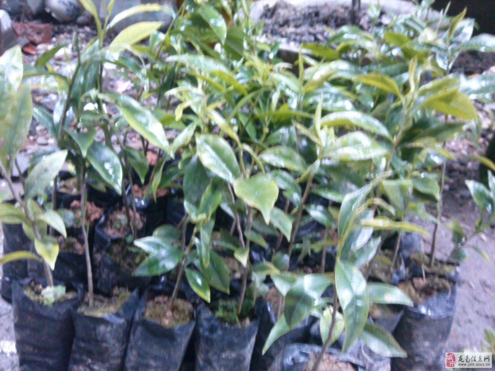 野生糖梨树盆景
