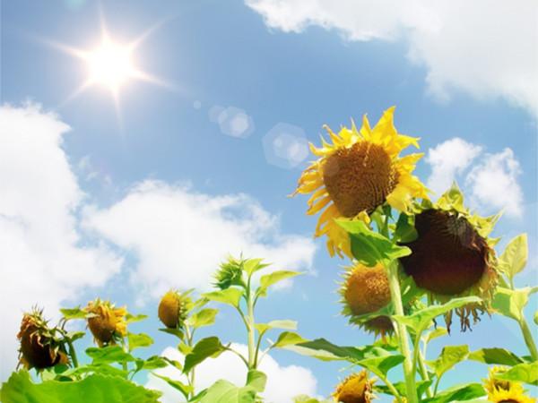 390阳光下的向日葵
